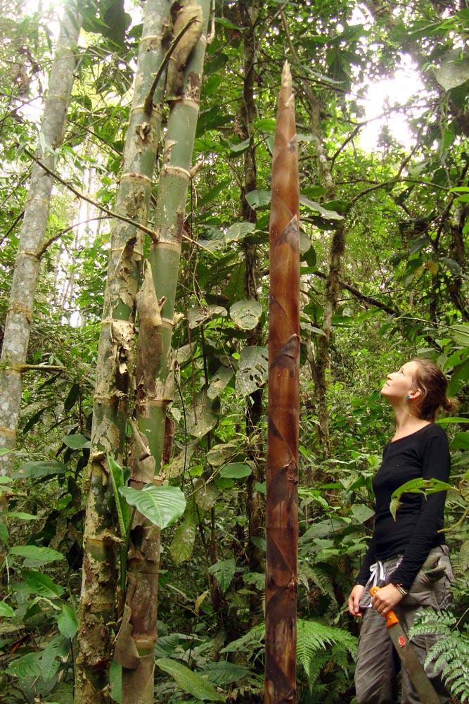 Guadua, una de las 4 especies de bambú gigante, apta para construcciones