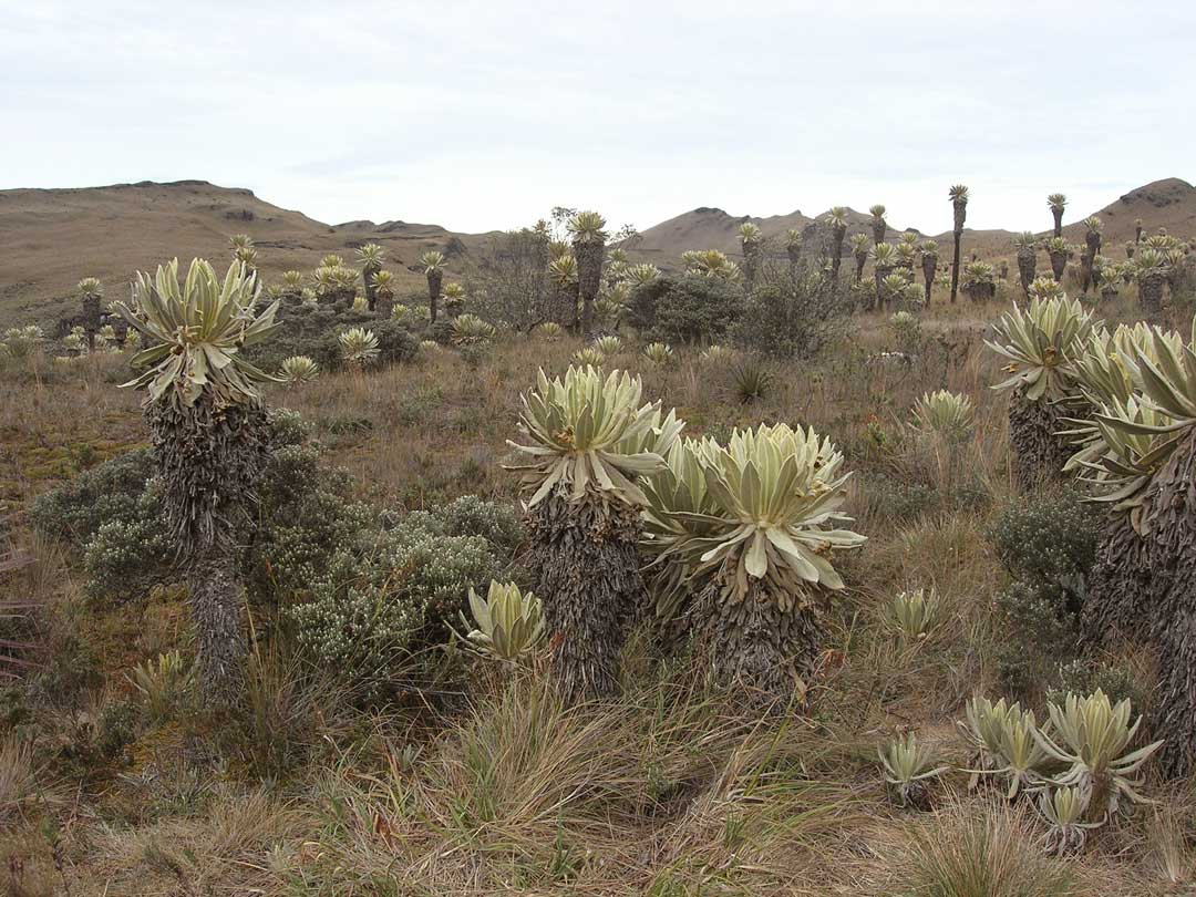 La caminata a la Reserva Ecológica de El Angel, con sus frailejones