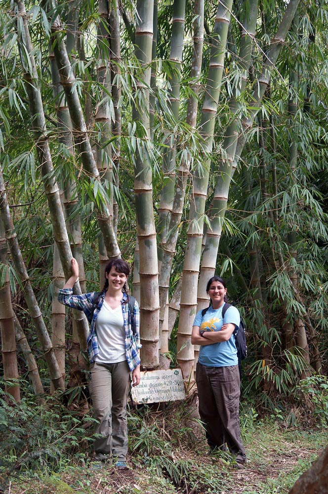 Las cuatro especies de bambú gigante para la construcción: Dendrocalamus asper, Guadua angustifolia, Phyllostachys pubescens, Gigantochloa sp.