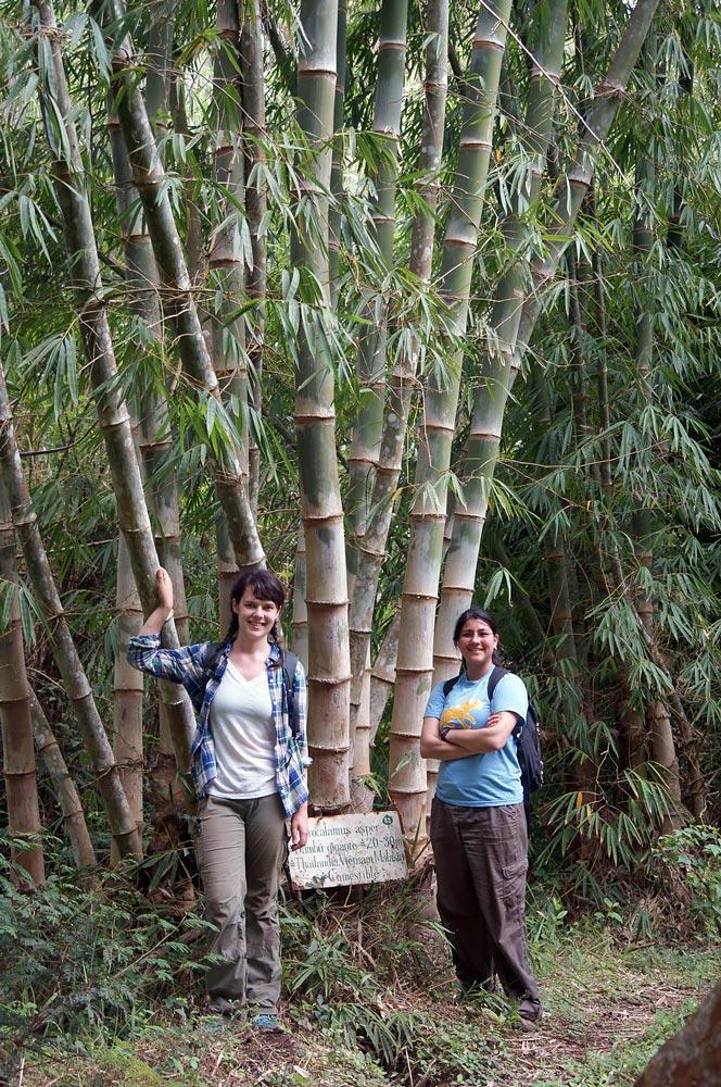 Dendrocalamus asper in Parque Bambú. Bamboo Ecuador